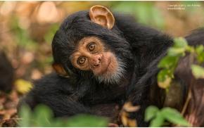monkey, photography, animals