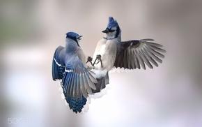 animals, birds, blue jays, nature, photography
