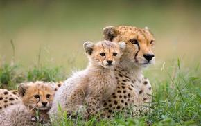 baby animals, mammals, cheetah, animals