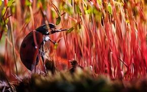 ladybugs, moss, macro, insect, beetles, animals