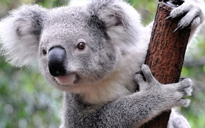 animals, koalas, mammals