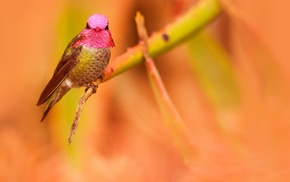 hummingbirds, animals, birds