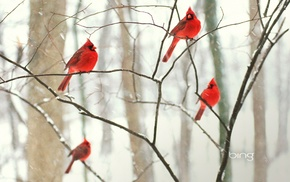 animals, birds, nature, Cardinals