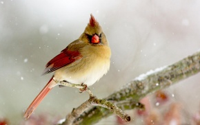 Cardinals, nature, animals, birds