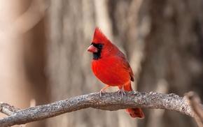 Cardinals, animals, nature, birds