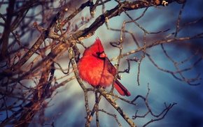 birds, Cardinals, nature, animals, twigs