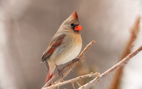 birds, nature, animals, twigs, Cardinals