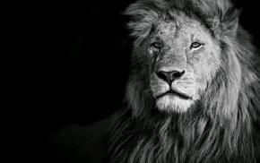 lion, animals, photography