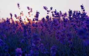 sunset, nature, photography, depth of field, plants, field