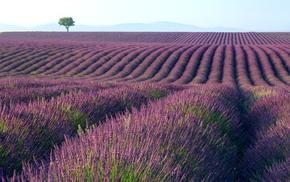 photography, landscape, nature, plants, lavender, field