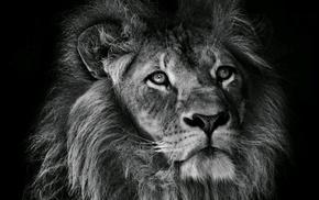 photography, animals, lion