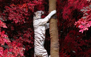 white tigers, animals, photography