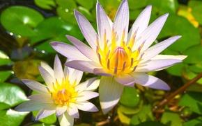 water lilies, leaves, flowers