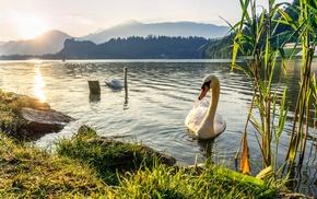 swan, animals, birds, water, nature