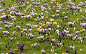 crocus, plants, flowers, spring, field
