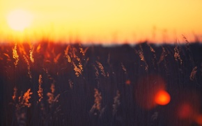 photography, flowers, nature, depth of field, sunset, plants
