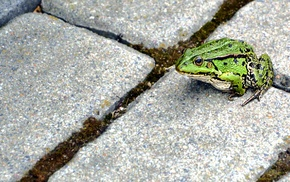 frog, pavements, nature, animals, amphibian