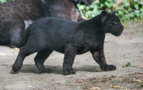 Black Panther, wildlife, cubs, baby animals, panthers, wild cat