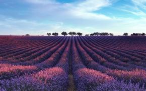 lavender, landscape, field