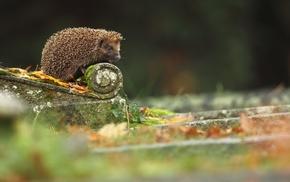 urban, hedgehog, macro, animals, mammals