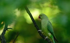 parakeets, ringneck, animals, birds, macro, parrot