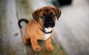 puppies, dog
