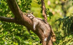 animals, mammals, raccoons