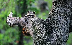 raccoons, mammals, animals