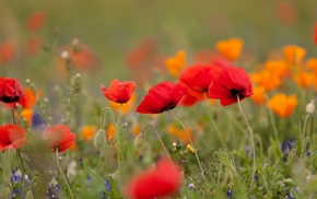 flowers, poppies