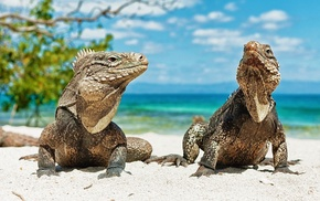 lizards, animals, reptiles, beach, iguana