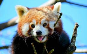 red panda, mammals, animals