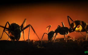 hymenoptera, insect, ants