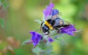 animals, insect, macro, bumblebees, hymenoptera, flowers