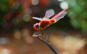 animals, insect, macro, dragonflies