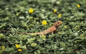animals, lizards, macro