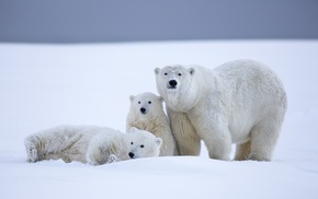 polar bears, snow, animals, baby animals