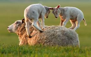 sheep, baby animals, lamb, animals