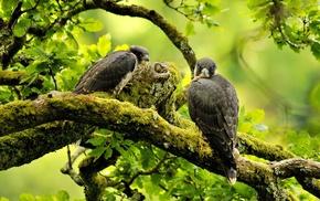 eagle, birds