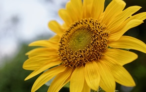sunflowers, nature, pollen, macro, plants, flowers