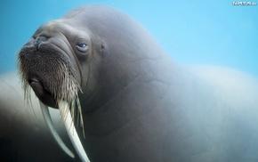 animals, walruses, mammals