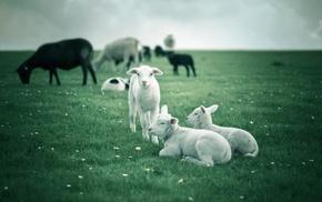 lamb, animals