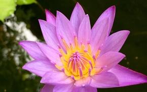 pond, water lilies, Sri Lanka, flowers