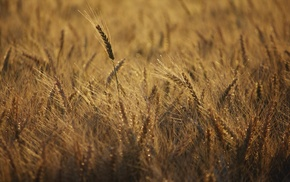 photography, depth of field, wheat, nature, plants, field