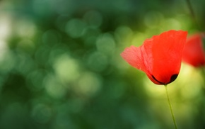 nature, photography, macro, poppies, plants, flowers
