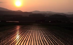 landscape, rice paddy, sunset, field, nature, photography