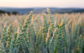 macro, field, plants, photography, wheat, nature