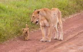 animals, lion, baby animals