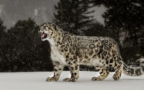 nature, snow leopards, snow, big cats, leopard animal, animals