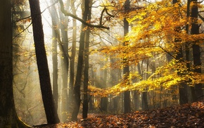 forest, sunlight, landscape, fall, leaves, mist