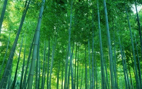 nature, bamboo, photography, trees, forest